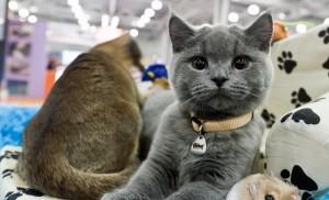 Разведение породистых кошек